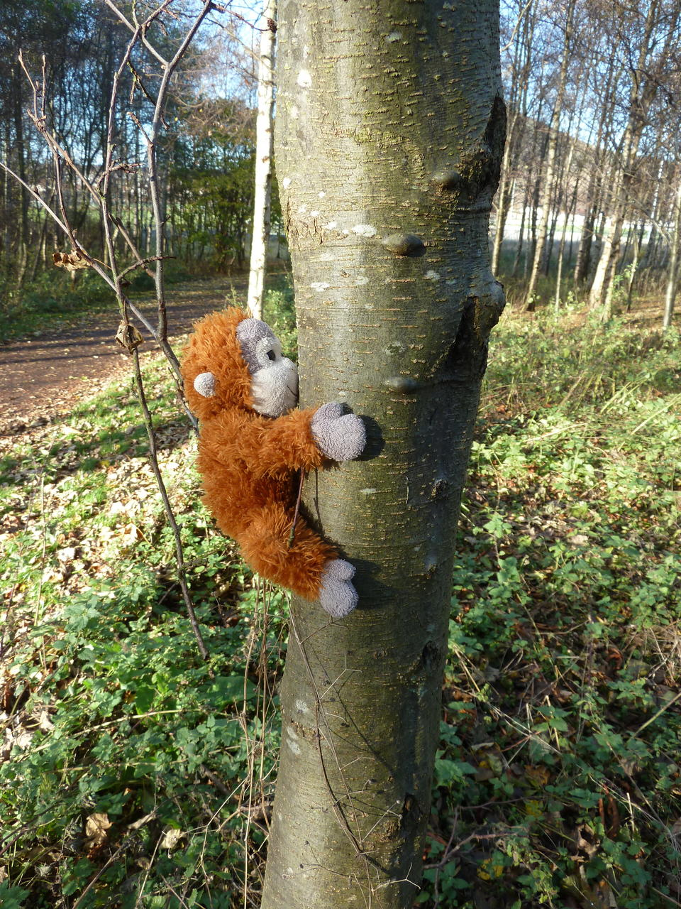 Pongo (a soft toy orang-utan) is climbing a tree