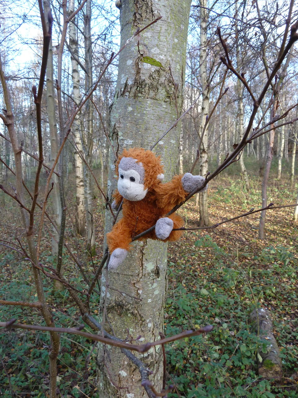 Pongo climbing a different tree